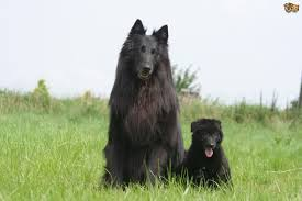 belgian sheepdog groenendael breeder belgian shepherd dog dog breed information buying advice photos