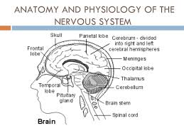 Anatomy And Physiology Nervous System Study Guide Central Nervous System Website Inspiration Anatomy And Physiology