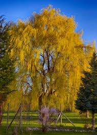 golden willow tree photograph by omaste witkowski