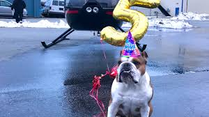 bentley the bulldog celebrates his fifth birthday with a