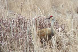 a sandhill crane at grass lake in ontario