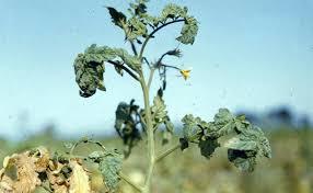 Tomato Plant Wilt Disease - fusarium wilt of tomatoes