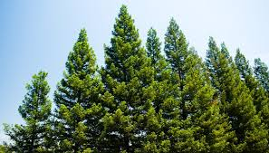 how to sell pine trees bizfluent
