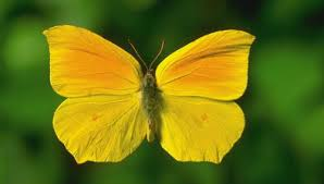 the yellow butterfly and the