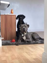 2 female boxer dogs together cane corso x3 2 female 1 male in bootle merseyside gumtree