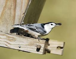 backyard birds missouri department of conservation