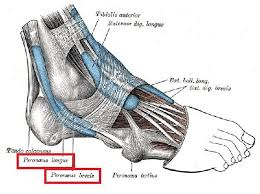 Foot Tendons Anatomy 38 Best Foot And Ankle Images On Pinterest Foot Pain Physical