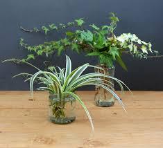 the 25 best spider plant propagation ideas on pinterest spider