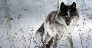 image black and white wolf 34 widescreen wallpaper png