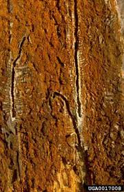 pine shoot beetle tomicus piniperda linnaeus