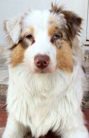 australian shepherd mini 190 best awesome aussies images on pinterest animals dog and