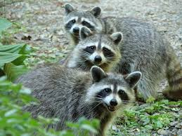 51 best raccoons images on pinterest raccoons racoon and animals