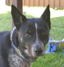 kelpie x australian shepherd paws private adoptions free to good home