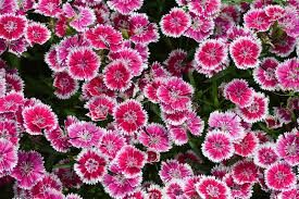 sweet william flowers pink sweet william flowers stock photo image of blossoming 32496750