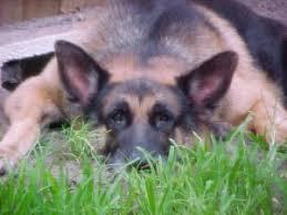 free german shepherd training guide ebook i love german shepherds