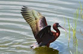 glossy ibis audubon field guide