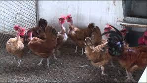 rural poultry farming narc hybrid youtube