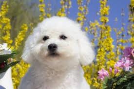 bichon frise meme le bichon frisé est il un petit chien pour vous