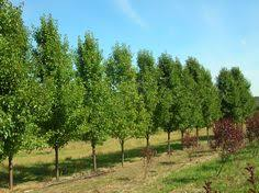 chanticleer pear tree plants trees pear trees