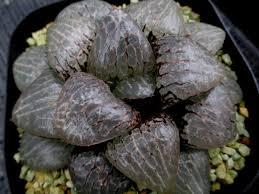 plats cuisin駸 多肉植物 ハオルチア アマゾナイト 親苗 haworthia cacti
