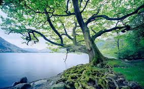 beautiful oak tree 32967 up up and away oak tree