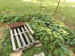 vegans living off the land buttercup squash cucumber trellis