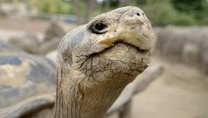 Toledo Zoo Halloween 2014 100 year old tortoise at san diego zoo sent to toledo kpbs