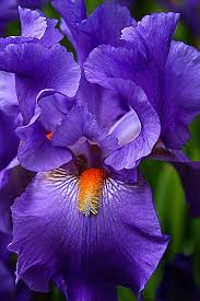Images Of Pretty Flowers - purple iris beautiful gorgeous pretty flowers iris pinterest