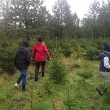 beacon fell area pick and cut your own christmas tree home