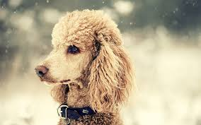 asian dog ring holder images Poodle dog breed information pictures characteristics facts jpg