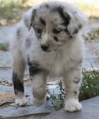 australian shepherd miniature miniature australian shepherd puppies animals pinterest