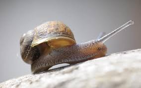 snails have homing instinct and will crawl slowly back to