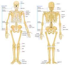 Human Anatomy Physiology Pdf Bone Anatomy Physiology Human Anatomy And Physiology Bones Human