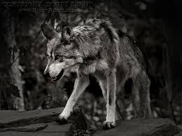 on the prowl gray wolf aka canis lupus baileyi