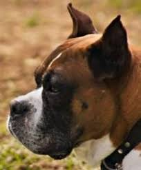 boxer dog uk boxer dog ear cropping price age standards