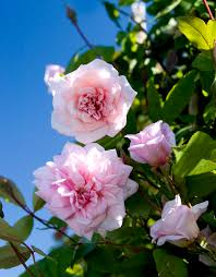 cecile brunner climbing rose monrovia cecile brunner climbing rose