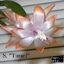 schlumbergera zygocactus samba brasil this is one of the more