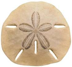 where to buy sand dollars how to find sand dollars oceanislebeach
