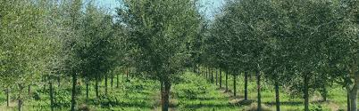 independent tree services buy fast growing live oak trees
