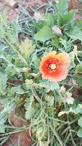 Plants That Don T Need Much Sun How To Grow Poppies With Pictures Wikihow