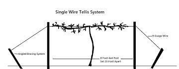 Trellis Construction Alachua Muscadine Grape Vine Just Fruits And Exotics
