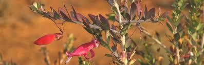 berri native plants wilabalangaloo reserve u2013 national trust