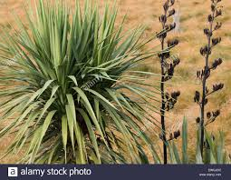 native plants of new zealand two new zealand native plants cabbage tree and flax stock photo