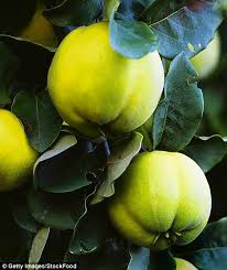 quince charming the most beautiful blossom fragrant fruit and