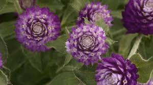 Long Blooming Annual Flowers - annuals