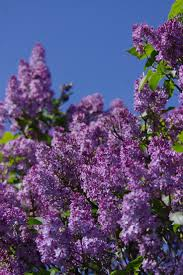 best 10 lilac bushes ideas on pinterest farmhouse pruning tools
