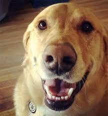 bluetick coonhound labrador retriever mix for sale goldador dog breed information pictures characteristics u0026 facts