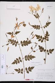 sunlight l for plants herbarium specimen details isb atlas of florida plants