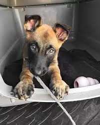 belgian malinois rescue florida belgian malinois rescue u0026 adoption adopt a mal