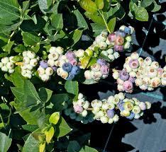 mirtillo in vaso coltivazione mirtilli frutteto come coltivare mirtilli